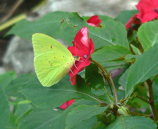 Cloudless Sulphur butterfly on Waterfall Impatiens (Impatiens walleriana (Busy Lizzie) red)