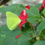 Cloudless_sulphur_exc_9_09_06_crop_med
