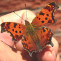 Eastern Comma on hand