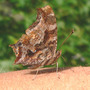 Eastern Comma on Arm