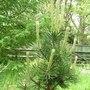 Pinus mugo (Pinus Mugo Mughus)