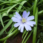 Amemone blanda  (Anemone blanda (Anemone))