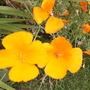 Eschscoltzia californica (Eschscholzia californica (California poppy))