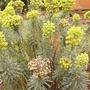 Euphorbia characias subsp. wulfenei