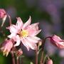 Aquilegia (Clementine Rose)
