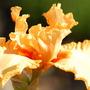 Iris 'Minneola'