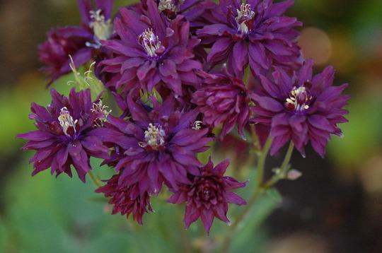 Aquilegia (Clementine Dark Purple)