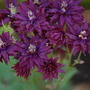 Aquilegia (Clementine Dark Purple)