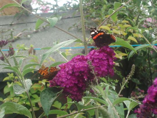 Butterflies On Buddleja (Buddleja davidii)