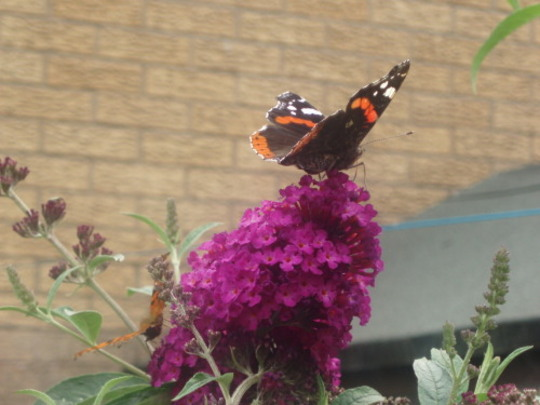 Butterfly - Red Admiral