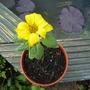 Sunflower Little Leo (Helianthus annuus (Sunflower))