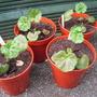 Geranium (geranium)