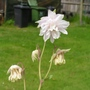 Aquilegia_white_double