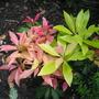 Pieris (Pieris japonica)