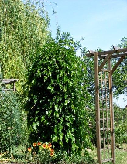 Mulberry tree and Gaillardia (Morus alba pendula)
