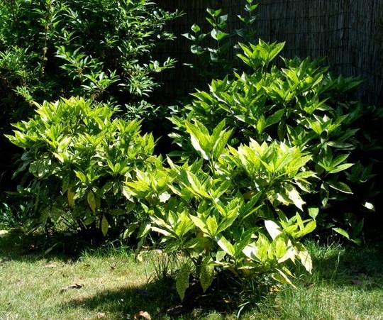 Group of Aucuba shrubs (Aucuba japonica (Aucuba))