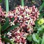 15_3_8.jpg (Skimmia japonica)