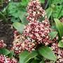 15_3_9.jpg (Skimmia japonica)