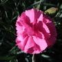 Dianthus_tickled_pink_