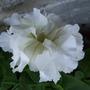 Double_white_petunia