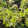 Euonymus - lovely spring greens (Euonymus fortunei)