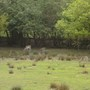 Deer in the Forest at Grooombridge Place