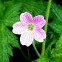 Geranium robertianum (Herb Robert) (Geranium robertianum (Herb Robert))
