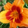 Daylily_bicolor