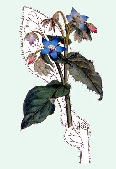 Borago Officinalis (Common  Borage)  (Borago Officinalis)