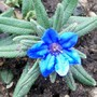 Lithodora diffusa 'Heavenly Blue' (Lithodora diffusa (Lithodora))
