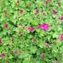 Moss Saxifraga - springing into life (Saxifraga x arendsii)