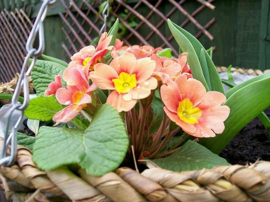 Pretty Polys in my basket! (Primula)