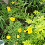 beloved welsh poppies agains the leaves of geranium 'ann folkard'