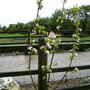 pear tree (pear tree)