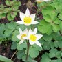 15_3_6.jpg (Tulipa turkestanica (Tulip))