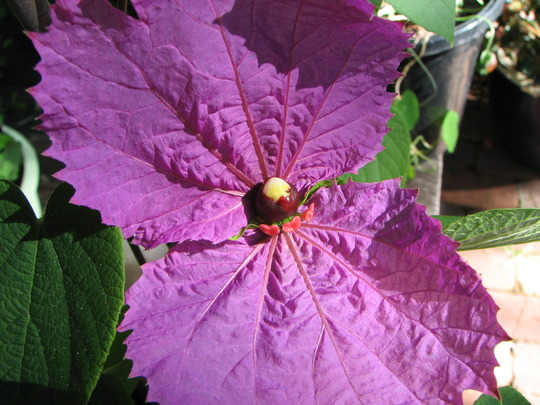 Silk Crepe Flower - Dalechampia Aristolochiaefolia (Dalechampia Aristolochiaefolia)