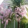 Tamarix in full flower (Tamarix aphylla (Tamarisk))