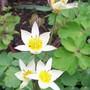 15_3_7.jpg (Tulipa turkestanica (Tulip))
