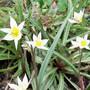 15_3_19.jpg (Tulipa turkestanica (Tulip))