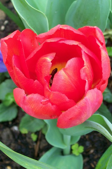 Tulipa 'Abba' - i think! ? (Tulipa)