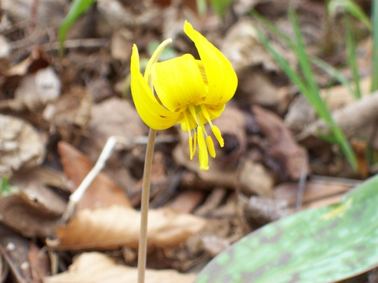 Trout Lilly (Erythronium revolutum (American Trout Lily))