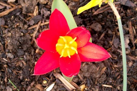15_3_3.jpg (Tulipa kaufmanniana)