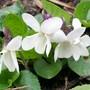 Pretty white Violets (Viola odorata (Banaf Shah))