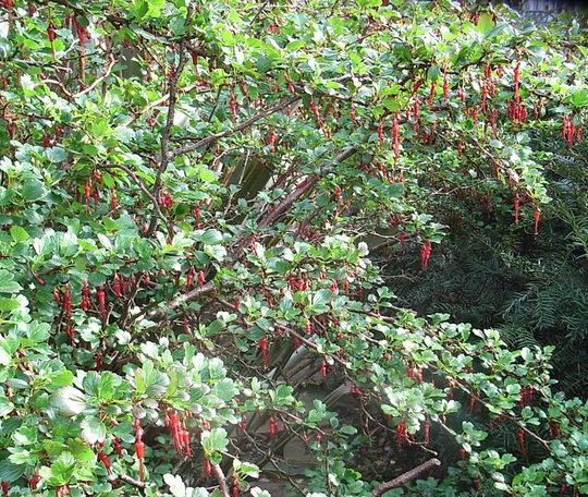 Ribes speciosum (Ribes speciosum)