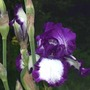 "Iris ""Steppin Out"" (Iris)"