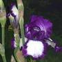 "Iris ""Steppin Out"" (Iris)"