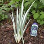 Variegated Sweet Iris, no blooms (Iris Variegata Sweet)