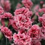 Dianthus_sugar_plum