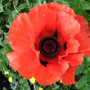 Deep_orange_oriental_poppy