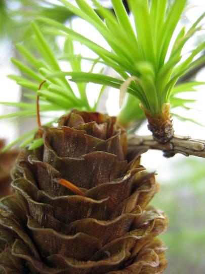 Deciduous conifer, Japanese Larch